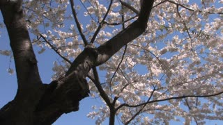 Cherry Blossom Tree to Washington Monument