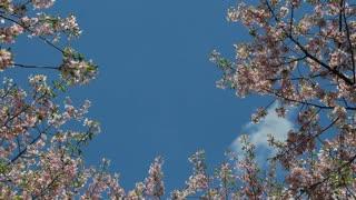 Cherry Blossom Treetops