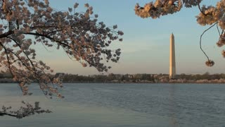Cherry Blossom with Washington Monument 8