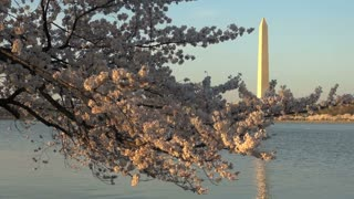 Cherry Blossom with Washington Monument