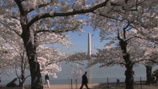 Cherry Blossoms Around D.C. Zoom In