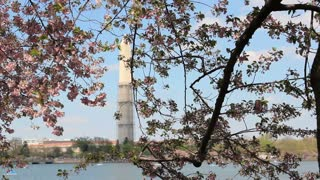 Cherry Blossoms Foreground Washington Monument