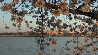 Cherry Blossoms in Washington DC 1