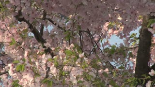 Cherry Blossoms in Washington DC 5