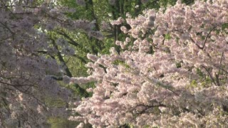Cherry Blossoms in Washington DC 7