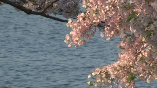 Cherry Blossoms in Washington DC with water in background 2
