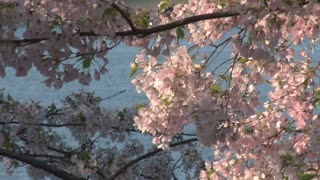 Cherry Blossoms in Washington DC with water in background 4