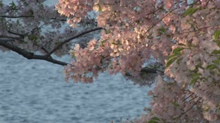Cherry Blossoms in Washington DC with water in background 7