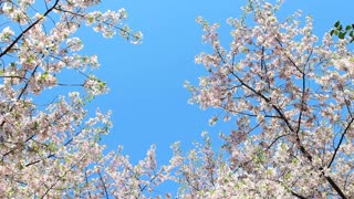 Cherry Blossoms Reaching The Sky