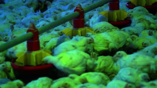 Chickens feeding at chicken farm closeup. Feeding chicks on poultry farm