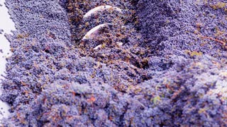Churning Wine Grapes