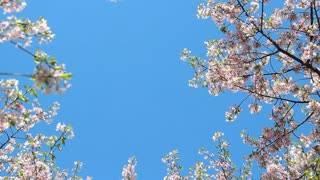Clear Skies Full Blossom