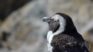 Close up from a molting penguin at  Stony Point South Africa