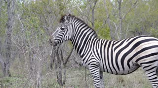 Close up from a zebra standing alone in the bush in Kruger National Park South Africa