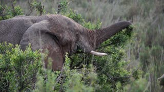 Close up from an elephant eating from a tree in Kruger National Park South Africa