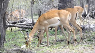 Close up from two impalas eating in Kruger National Park South Africa