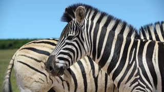 Close up from two zebras in Addo Elephant National Park South Africa