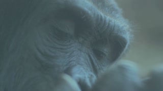 Close up gorilla face and eyes