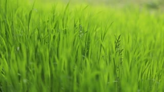 Close up green grass view under strong wind. Summer nature abstract. No people around, outside shooting. Landscape portrait. Close up view.