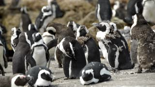 Close up Molting penguin colony at the rocks in Stony Point South Africa