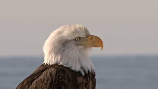 Close Up of Bald Eagle Head