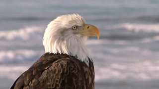 Close Up of Bald Eagle with Sea in the Background