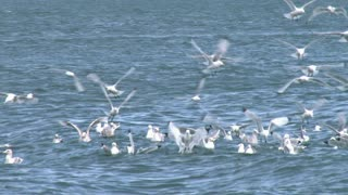 Close Up of Kittiwakes in Slow Motion