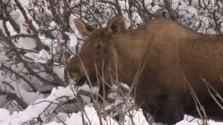 Close Up of Moose in Snow