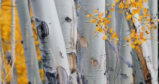 Close up on fluttering golden Aspen leaves in front of white bark fall foliage