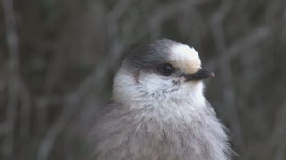 Close Up on Grey Jay