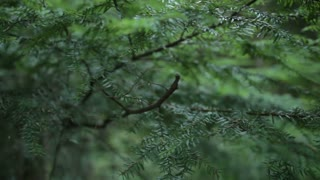 Close up on pine tree