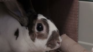 Close Up Staring Bunny