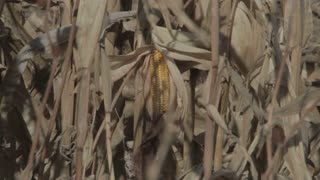 Closeup of Corn on Stalk 1