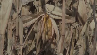 Closeup of Corn on Stalk 2