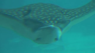 Closeup of Giant Manta Ray Gliding Past Camera