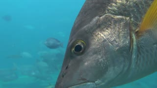Closeup of Large Tropical Fish Head Drifting Away