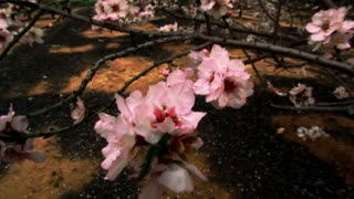 CLoseup of Pink and Pearl Tree Blossoms