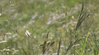 Closeup on Colorado Mountain Grass 3
