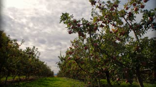 Clouds Rolling Over Apple Orchard