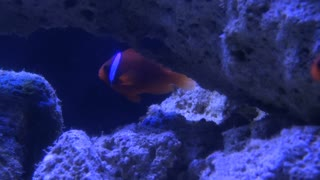 Clown Fish Flaoting by Rocks