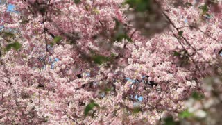 Clustered Cherry Blossoms in DC