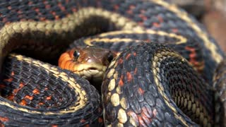 Colorful Garter Snake Coiled