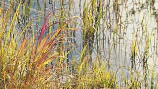 Colorful Grasses in Reflective Water
