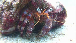 Colorful Hermit Crab Walking Along Ocean Floor