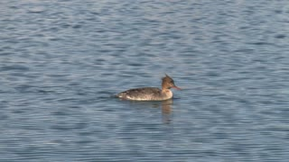 Common Merganser Paddling in Water