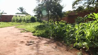 Cornfields In African Village