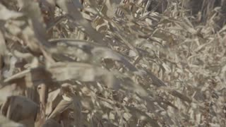 Cornstalks Blowing in Wind 1