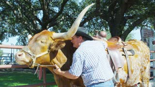 Cowboy Rubbing Steer's Neck