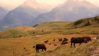 Cows Grazing Against Mountains