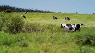 Cows Grazing in Grassy Field